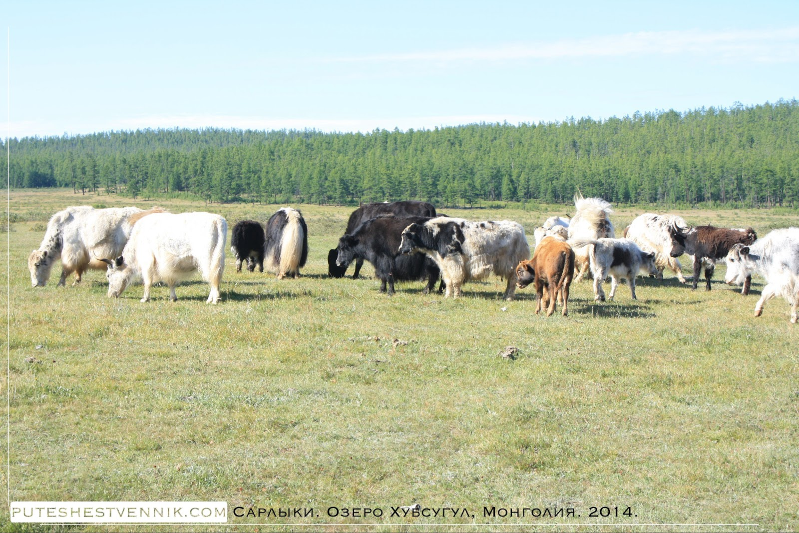 Сарлыки в Монголии