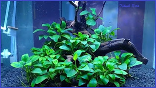Anubias tanaman aquascape