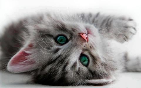 Gatito nariz rosita