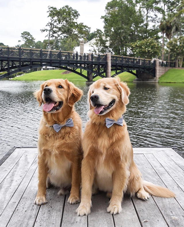 Golden Retrievers Bow Tie