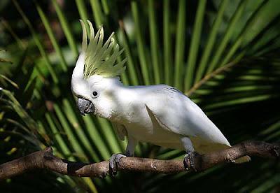 papagal-kakadu