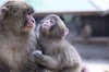 माकड माहिती : Monkey Information in Marathi