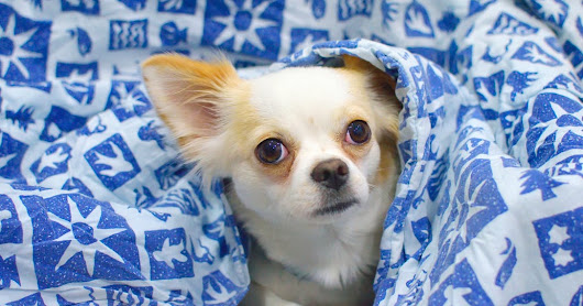Interesting facts about chihuahua