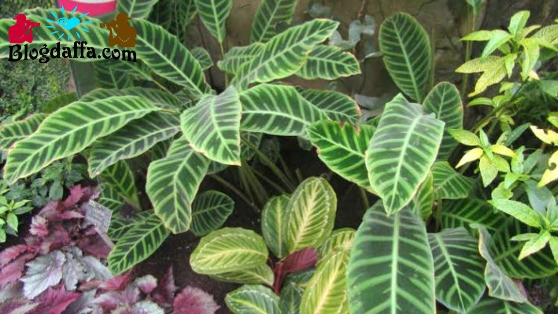 Jenis-jenis tanaman hias Calathea