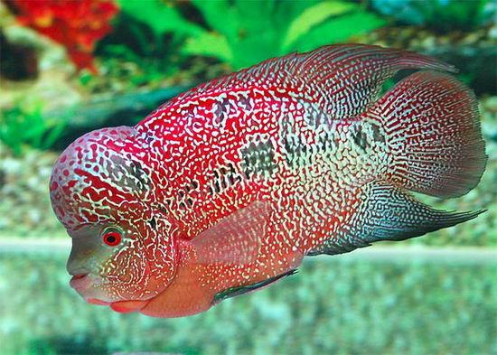 Live Niagara Falls Wallpaper Fourth Eye Beautiful Flowerhorn Fishes