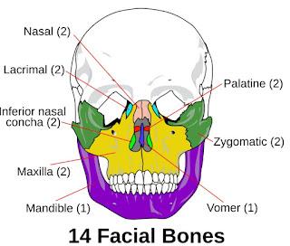 Daftar Tulang Di Area Kepala Dan Wajah Manusia