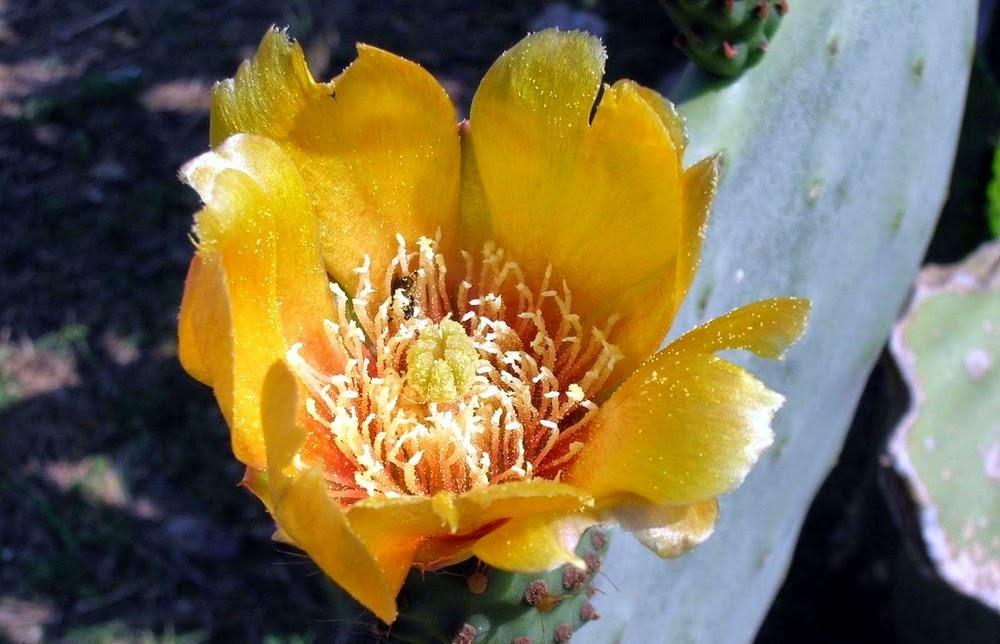 Fiore di fico d'india.
