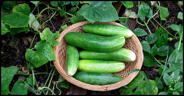 Cucumbers And How It Helps In Cancer Prevention