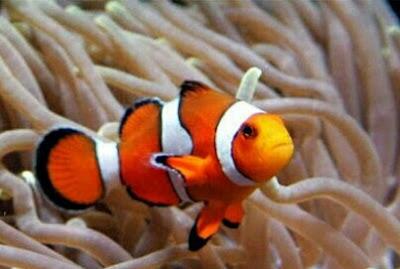 ikan Badut Clownfish (nemo)