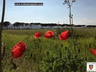 Immagine - Papaveri - Parco - Cascine -Tavola