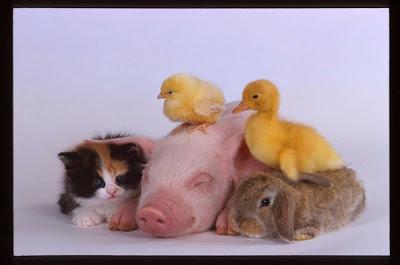 foto tierna, puerco, pollito, patito, conejo y gato