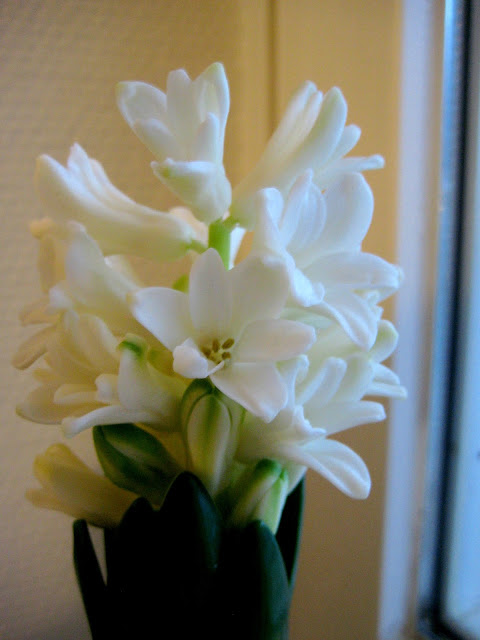 kukka, hyasintti