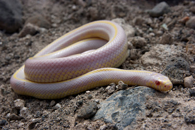 California kingsnake (striped albino pattern) Photo © Ramón Gallo Barneto