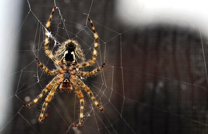 Mengapa Laba-laba Tidak Terjebak Dalam Jaringnya Sendiri? Belajar Sampai Mati, belajarsampaimati.com, hoeda manis