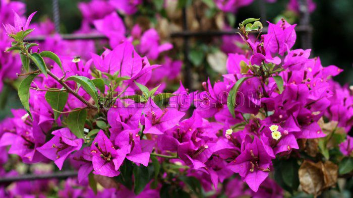 Bougenville is a thorny plant that can grow at an altitude of 1-1400 meters above sea level. Apart from the colourful beauty of the flowers and the mythical shadows that overflowed, the bougainvillea actually deserves to be planted in the yard.