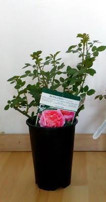 david austin boscobel rose fresh from the garden center
