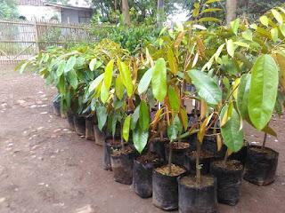 Jual Bibit Durian Montong Unggulan