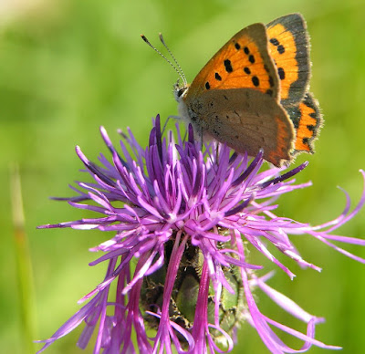 Small copper butterfly on knapweed flower