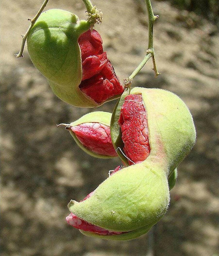 biji benih buah asem londo asam belanda buah merah 10 biji Bogor
