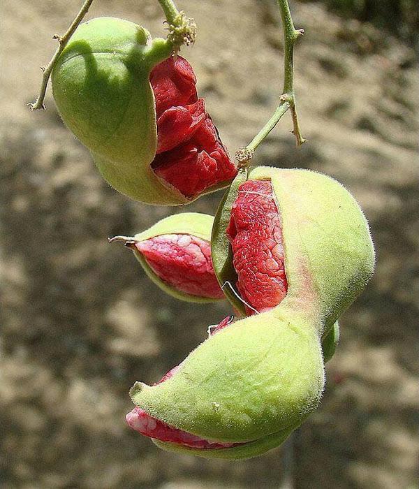 biji benih buah asem londo asam belanda buah merah 10 biji Cirebon