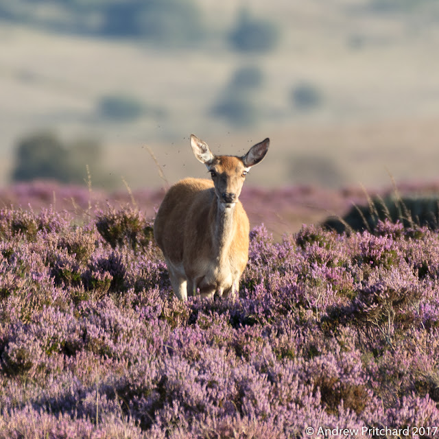 A hind standing in purple heather is surrounded by a cloud of flies.