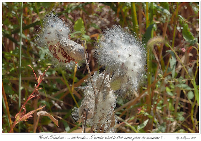 Great Meadows: ... milkweeds... I wonder what is their name given by monarchs?...