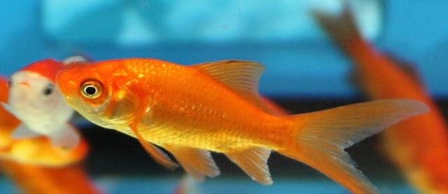 Ikan Mas Koki Common Ciri-Ciri dan Klasifikasinya