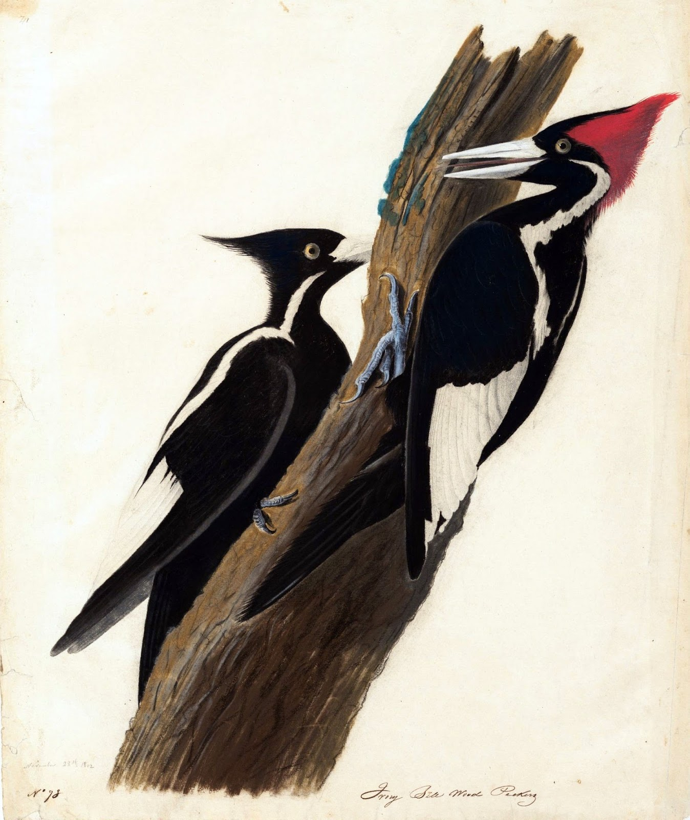 Ivory-Billed Woodpeckers I'On Swamp