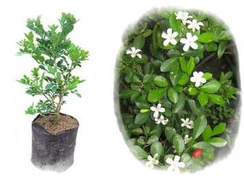 bibit kemuning unggul | budidaya tanaman kemuning | bunga kemuning | jual bibit kemuning unggul | kemuning obat herbal