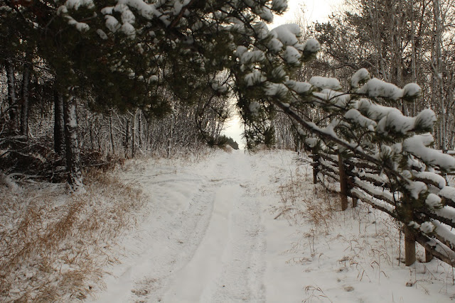 Snowy trail along rail fence and pine trees