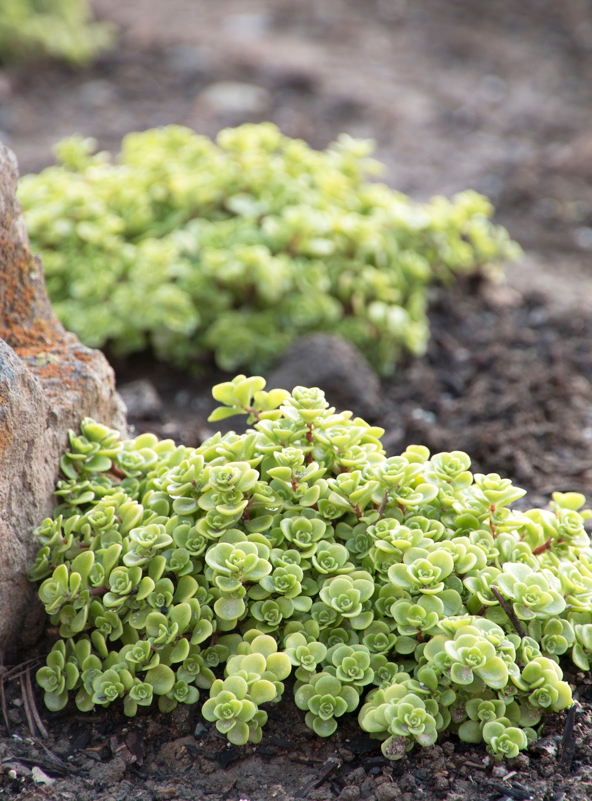 Succulent Stepables Sedum