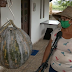 Agricultora colhe abóbora 'gigante' de 40kg na Bahia