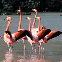 Flamingo funny dance (Flamingo mating rituals)