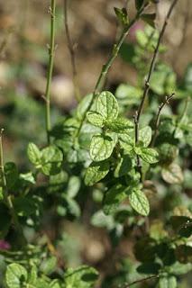 Sauge à petites feuilles - Salvia microphylla - Salvia grahamii - Sauge de Graham