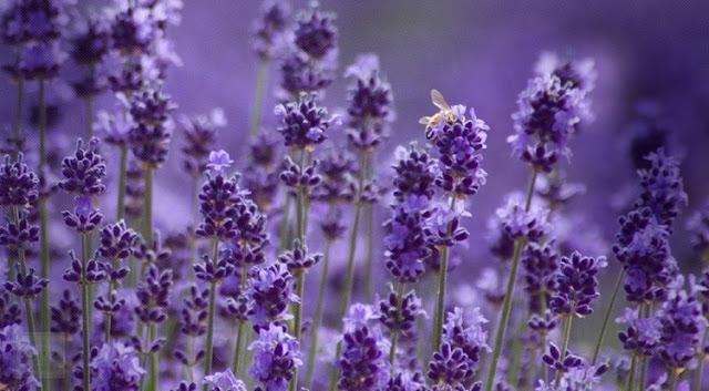 Ý Nghĩa Của Hoa Oải Hương (Lavender) Là Gì? - Ảnh 1