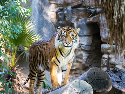 a tiger standing on a log in the jungle