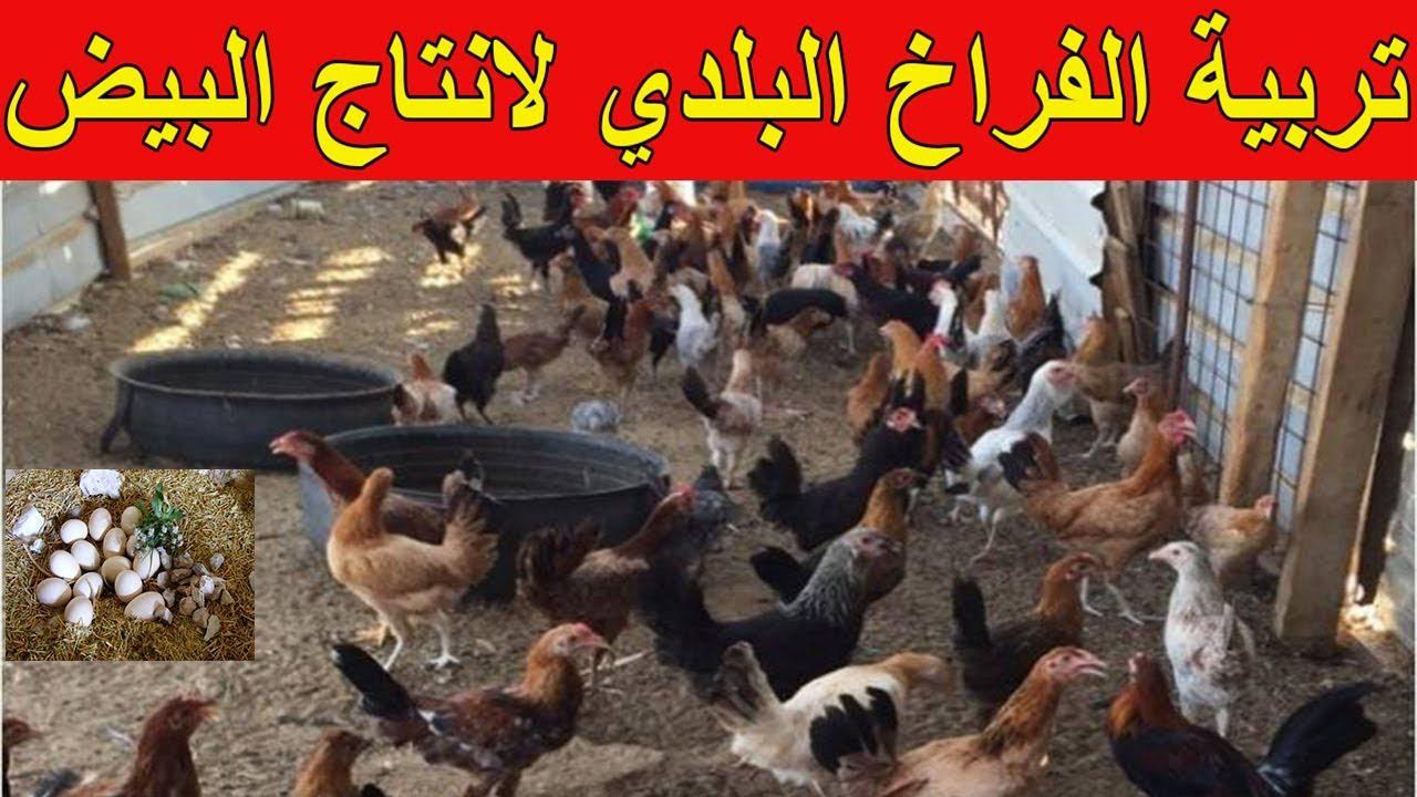 مشروع تربية الدواجن لانتاج البيض البلدي في مصر 2021
