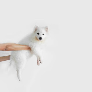 Human holding a Japanese Spitz puppy