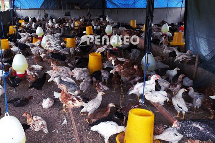 Bagaimana Cara Beternak Ayam Joper Bagi Pemula yang Benar?