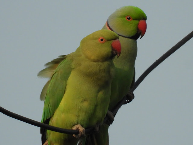Parrot - 25