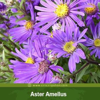 ciri ciri pohon bunga aster amellus