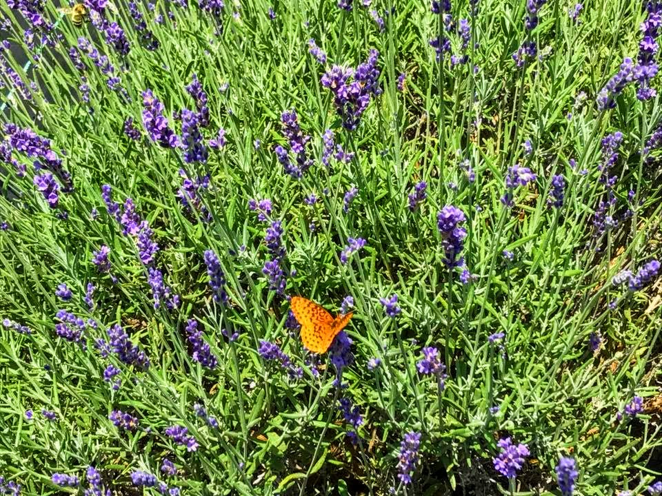 MidAtlantic DayTrips: Smell the Lavender at Deep Creek