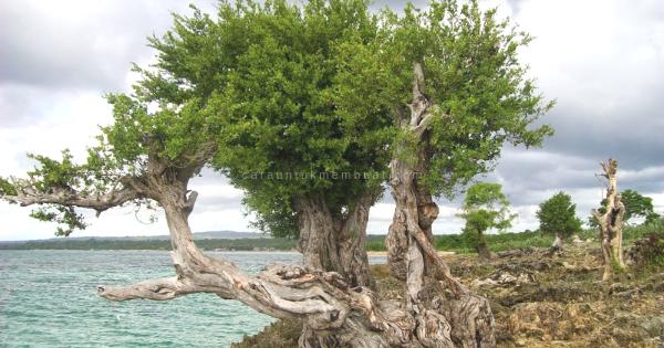 Pohon Santigi Di Alam Liar