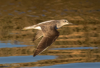 Common  Greenshank Flight Cape Town  : Canon EOS 7D Mark II / 400mm Lens