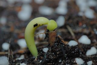 ¿como y cuándo sembrar Adenium obesum?