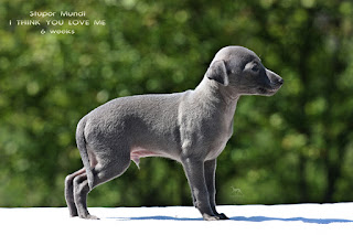 http://www.italiangreyhound.eu/2019/04/boy-1.html