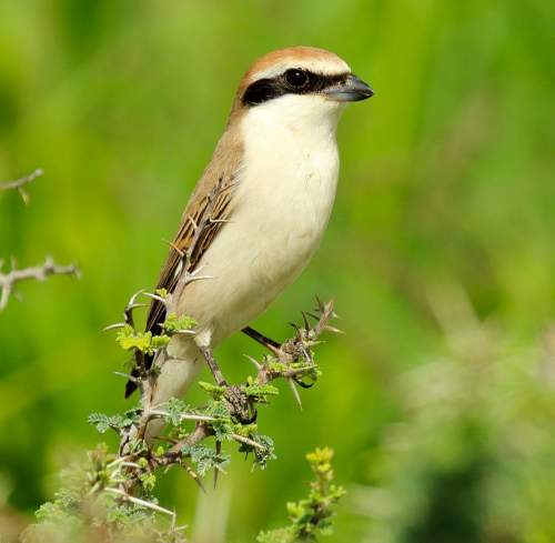 Birds of India - Photo of Red-tailed shrike - Lanius phoenicuroides