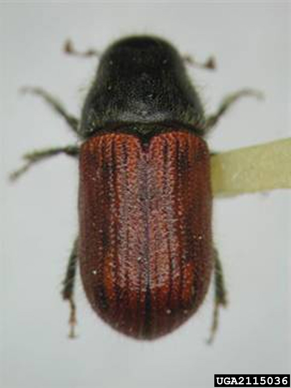 Southern pine beetle impacts on forest ecosystems