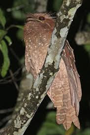 FROGMOUTH BIRDS