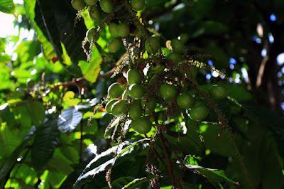 Buah Matoa Yang Buanyak Banget Manfaatnya Di Universitas Riau Banyak Pohonnya